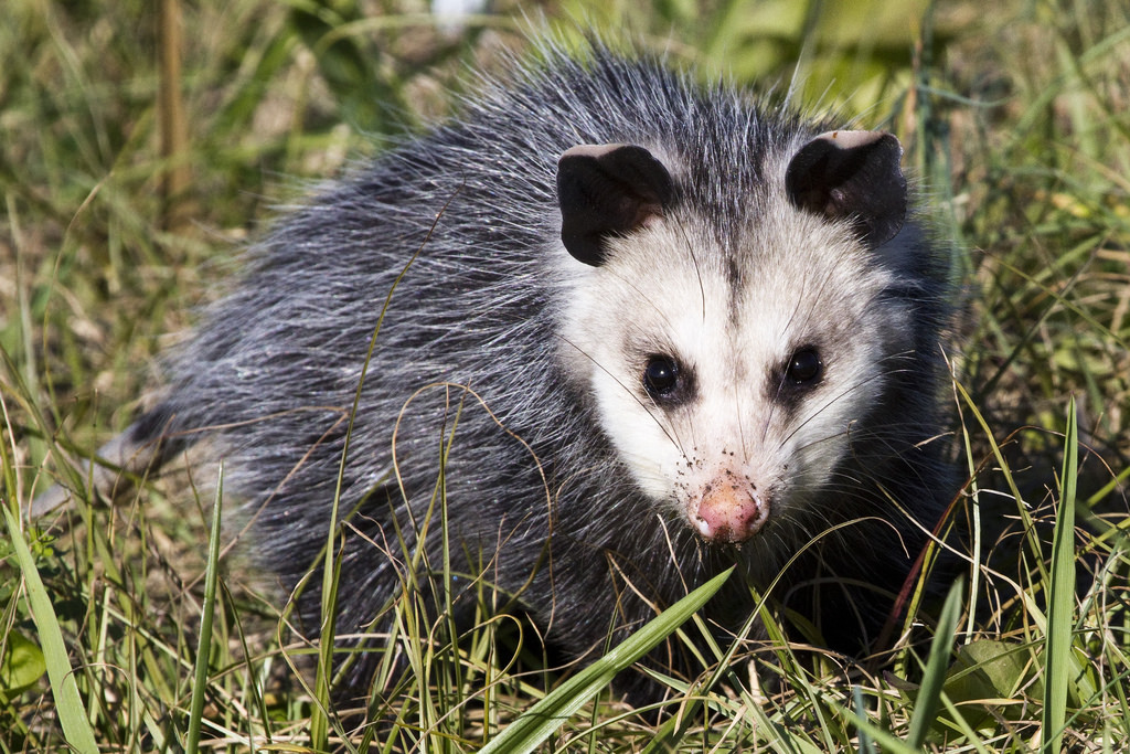opossum in field