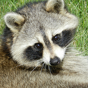 photo of raccoon